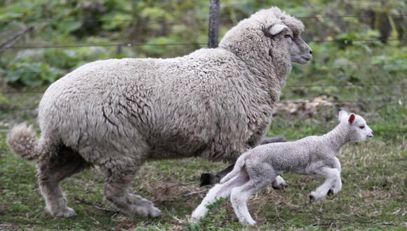 Científicos completan mapa del genoma de la oveja