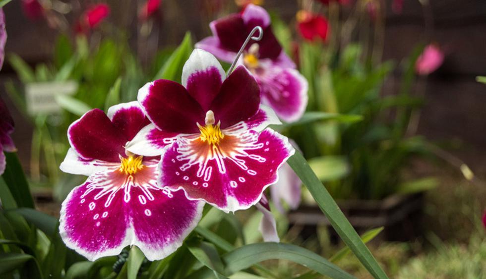Aries. Eres emprendedor. Por ello, las orquídeas son plantas ideales para ti, dado que no requieren mucho de tu tiempo pues son plantas bastante fuertes. Además, son elegantes. (Foto: Shutterstock)