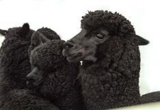 El proyecto en Puno que busca salvar a la alpaca de color negro de la extinción