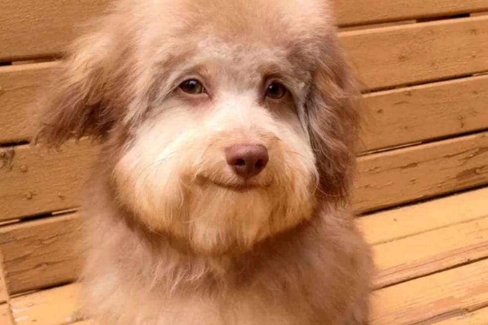 Nori es un cruce de pastor australiano y poodle. (Captura de pantalla)