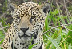 Jaguares en Ecuador: una población poco estudiada en peligro de desaparecer