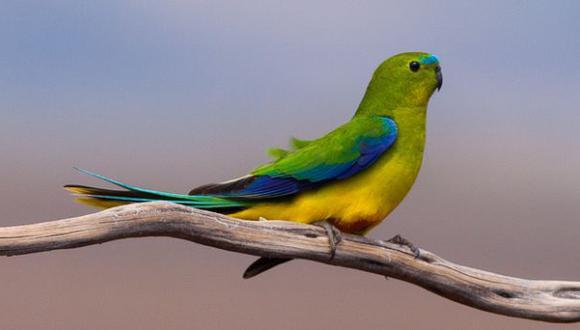 Un virus amenaza con extinguir a una especie de ave australiana