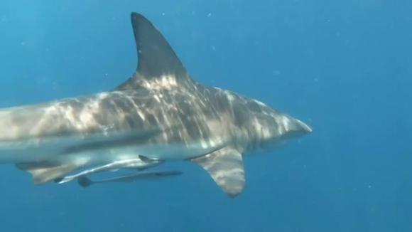 One-third of shark species are endangered, the IUCN warns