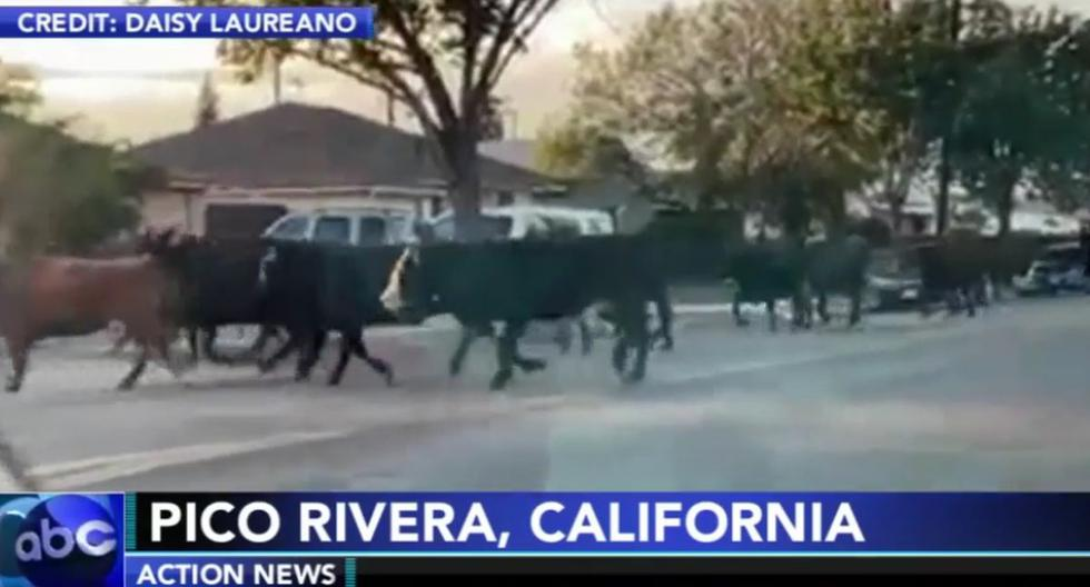 40 Cows escape from a Slaughterhouse in Los Angeles and one of them attacks a family