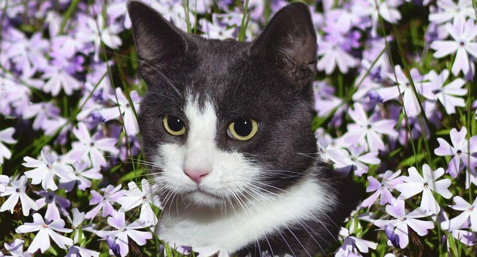 Un gato liviano, como el que se aprecia en la fotografía, fue usado para engañar a la aerolínea. (Foto: Referencial - Pixabay)