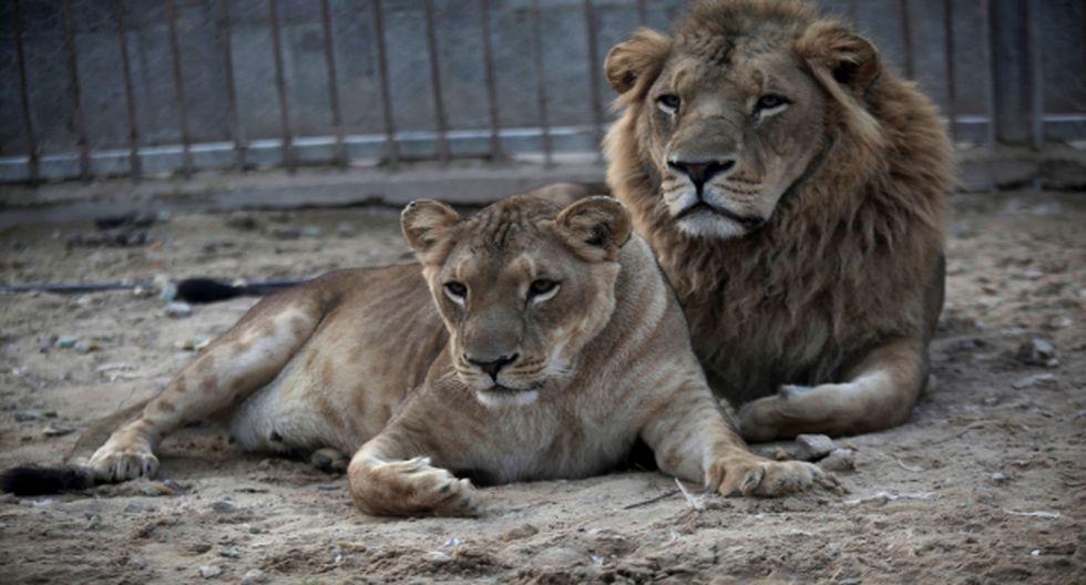 El zoológico de Montevideo se queda sin leones