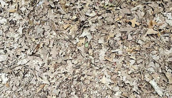 El nuevo reto viral de encontrar a la serpiente entre las hojas que trae de cabeza a los usuarios de redes sociales. (Foto: Twitter/@IamVipulTyagi)