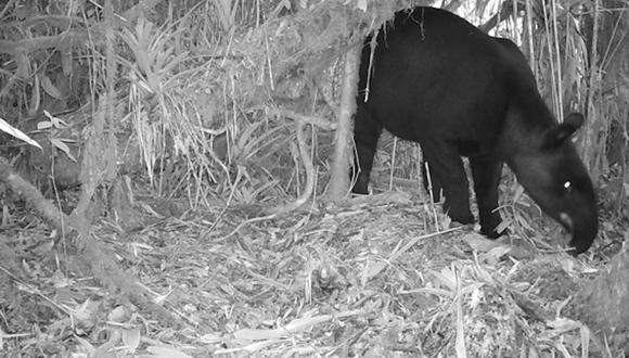 Tapir de montaña. Foto: SBC.