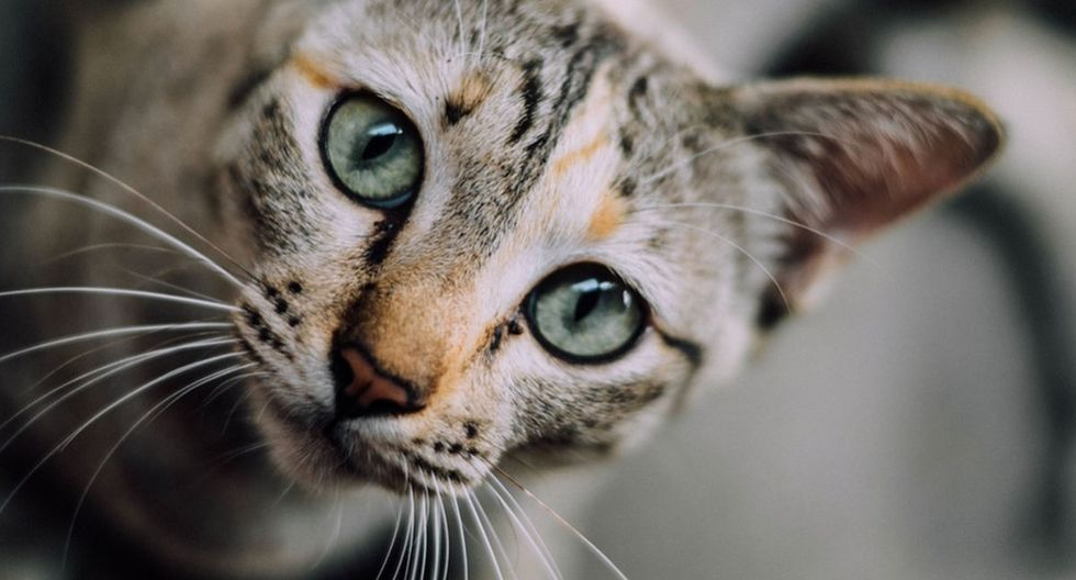 El gato acabó siendo de mucha utilidad para su dueña a la hora de entrenar. (Pixabay)