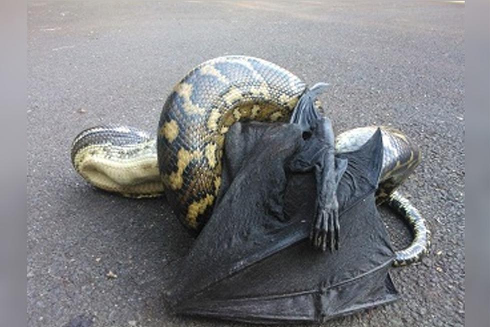 La pelea entre una pitón y un murciélago gigante ha causado conmoción entre los internautas. | Foto: Videlo/YouTube