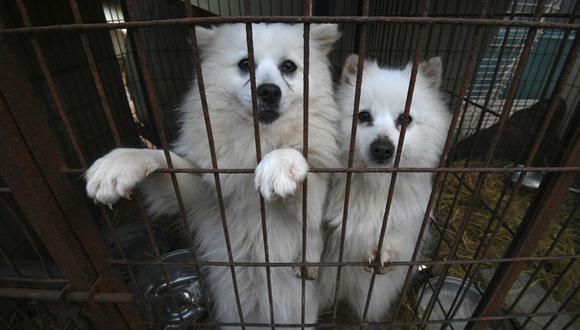 Dos perros miran desde una jaula en una granja durante su rescate, que implica el cierre del lugar, organizado por Humane Society International (HSI) en Hongseong, Corea del Sur, el 13 de febrero de 2019. (JUNG YEON-JE / AFP).