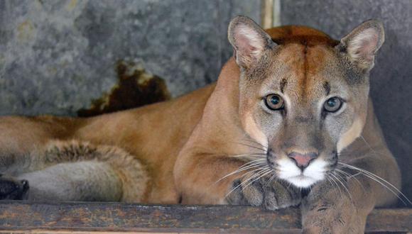 Puma en Hogar de paso Corponor. Foto: Corponor.
