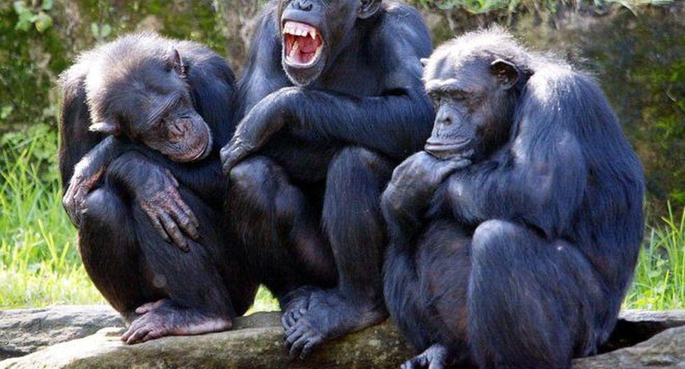 Según la cultura popular, los chimpancés son entre cuatro y ocho veces más fuertes que un humano adulto.