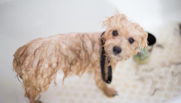 Las pulgas no solo generan picazón, sino diversas enfermedades en los perros. (Foto: Benjamin Lehman / Pexels)