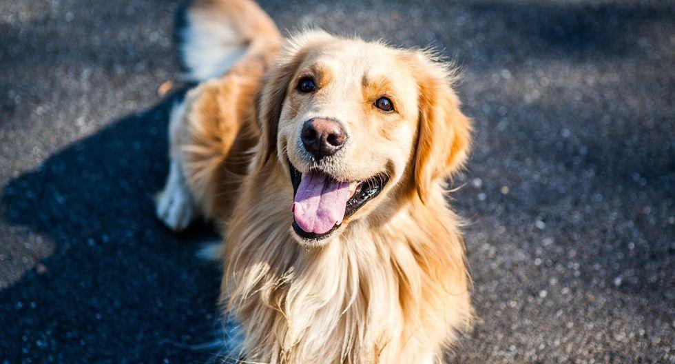 El can de raza golden retriever ayuda a transportar las bolsas de compras desde un auto hasta el interior de una casa. (Foto referencial: Pixabay)