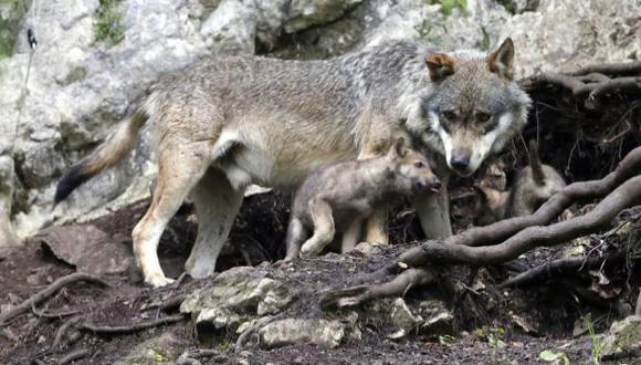 Los lobos se hicieron perros siguiendo a los primeros cazadores