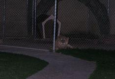 Un león, la mascota de la casa