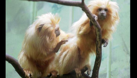 Mono en peligro de extinción sufre accidente y muere en zoo