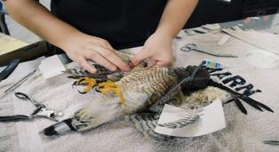 El Salvador: realizan trasplante de plumas a gavilán