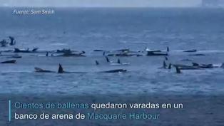 Cientos de ballenas varadas en Tasmania