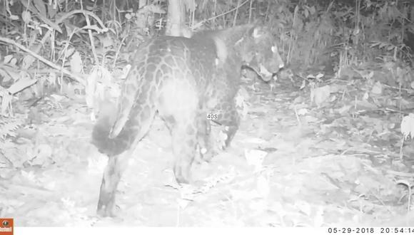 En las áreas donde habita el jaguar, el melánico o negro aparece en un porcentaje muy bajo o simplemente no existe. Foto: ACEAA