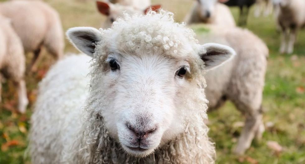 La investigación referente a las ovejas inició en el año 2008. (Foto: Referencial - Pixabay)