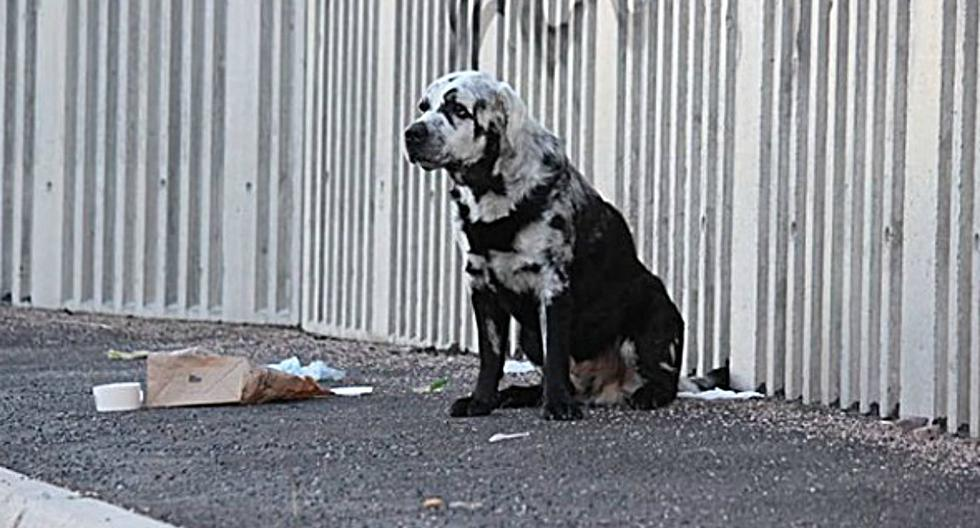Blaze es un perro de raza labrador retriever que nació con un pelaje negro puro. Durante la mayor parte de su vida se mantuvo así. (Foto: Instagram/blazethedog__)
