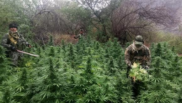 Ayacucho: destruyen más de 255 mil plantaciones de marihuana y laboratorios clandestinos. (Foto: CCFFAA)