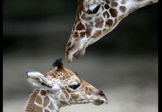 Sudáfrica:Mujer y su hijo se encuentran graves tras ser atacados por una jirafa