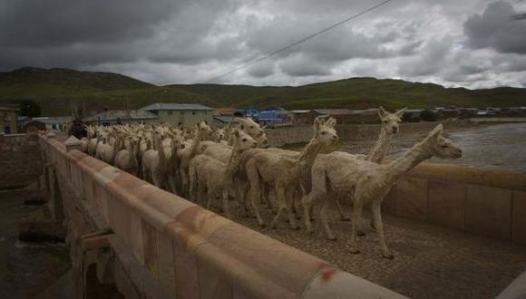 Apurímac: vacunan a camélidos en Andahuaylas ante frío extremo