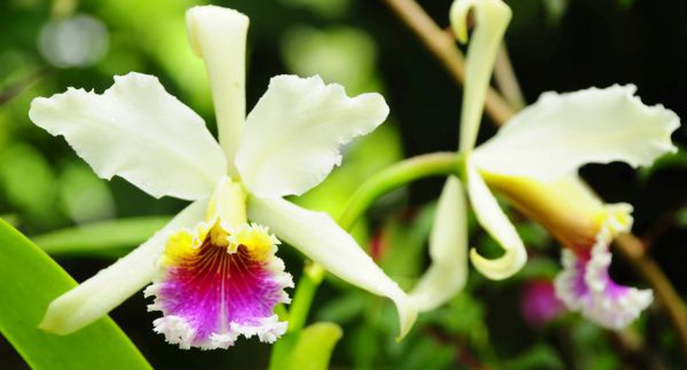 Conozca la historia del robo de una orquídea endémica peruana - 3
