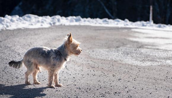 Perro se pierde en viaje con sus dueños y recorre 380 kilómetros para volver a casa. (Foto: Referencial / Pixabay)