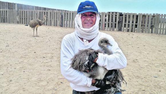 Milenario avestruz andino tiene un nuevo hogar en la costa