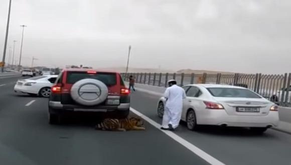 Insólito: Tigre se pasea en autopista de  Qatar [VIDEO]