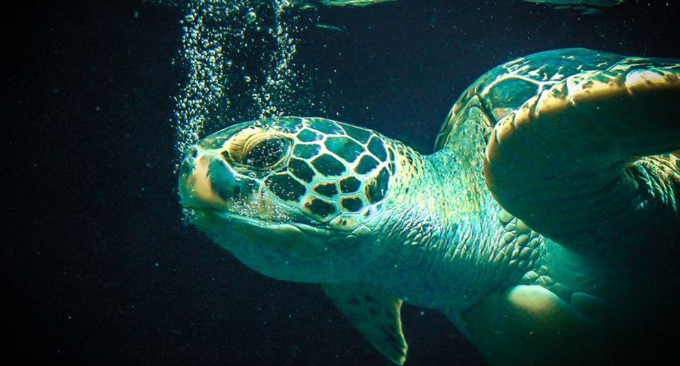 El video de la tortuga fue reproducido en más de 3 mil ocasiones. (Foto: Referencial - Pixabay)