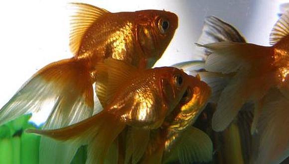 Envíos de peces ornamentales a EE.UU facturaron US$496 mil