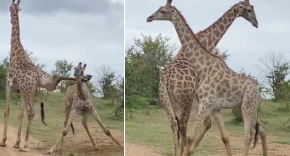 Las dos jirafas protagonizaron una escena inesperada antes de iniciar con un enfrentamiento. (Facebook: African Lion & Environmental Research Trust)