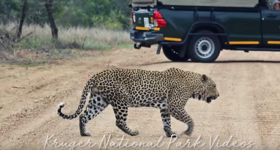 Temible leopardo cruza carretera en una reserva de África y deja paralizados a los conductores. (Foto: Captura /YouTube)