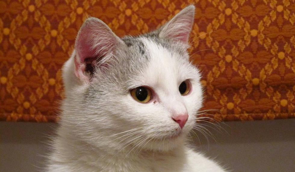 El video del gato fue compartido en YouTube por ViralHog. (Foto: Referencial - Pixabay)