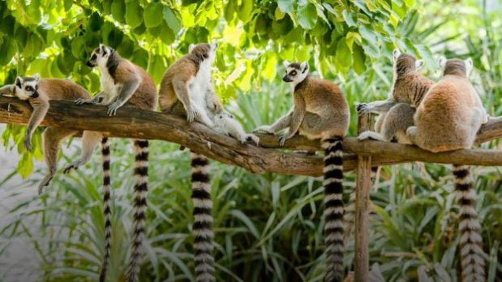 El bosque es hogar de lémures en peligro de extinción y se están quedando sin alimento. (Foto: BBC Mundo)