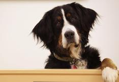 De dónde viene la cara de 'perro arrepentido'