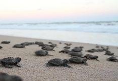Las tortugas marinas, mayores víctimas del derrame de petróleo en Brasil