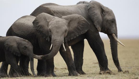 Los elefantes desaparecerían por apropiación de su hábitat
