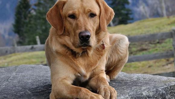 Un policía adoptó un perro labrador que encontró asustado y abandonado a su suerte dentro de un vehículo robado | Foto: Pixabay / Referencial / Pezibear
