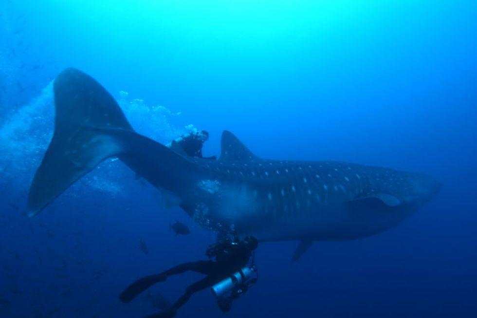 """""""La primera vez que nadé con un tiburón ballena quedé impresionada. Es tan igual como cuando surfeas una ola"""", explica la bióloga Rossana Maguiño."""