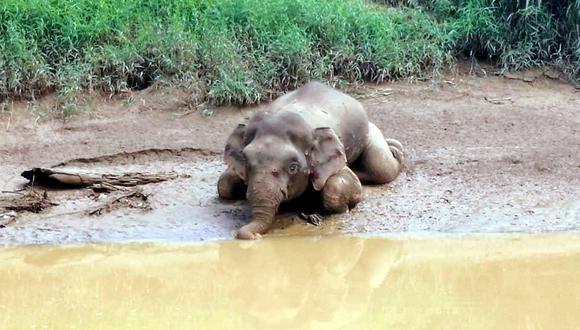 El elefante pigmeo fue encontrado a orillas de un río en Kalabakan, en la isla de Borneo. Su cadaver presentaba heridas de balas en la cabeza y el cuerpo, además, los colmillos le habían sido extirpados. (AFP)