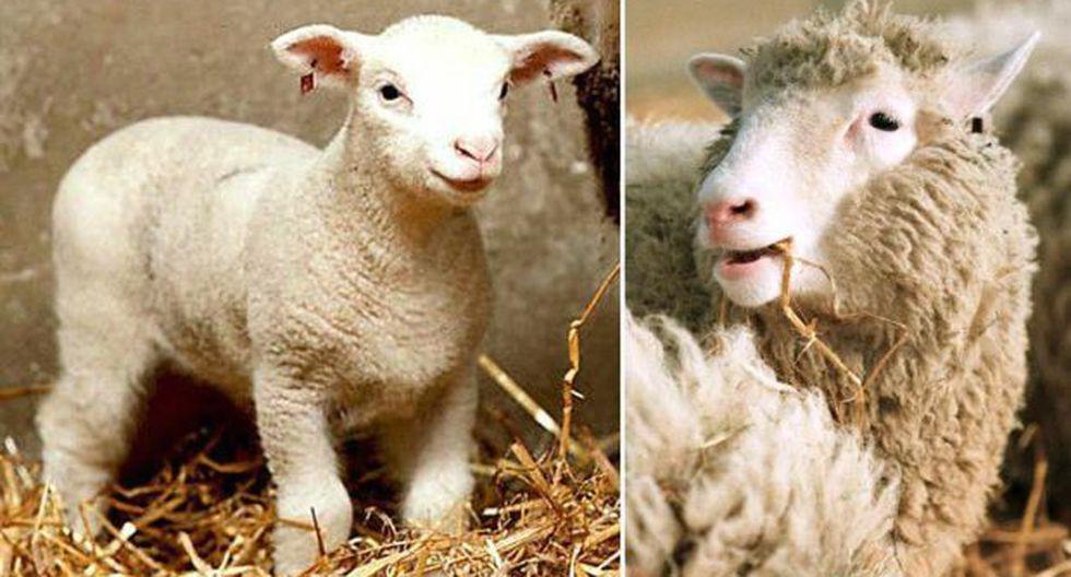 Dolly nació en 1996 gracias a un método llamado transferencia nuclear celular y se hizo desde una célula adulta. (Foto: AFP)
