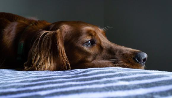 Si tu mascota está padeciendo de una gastritis debe de ser tratada lo antes posible por su médico veterinario.