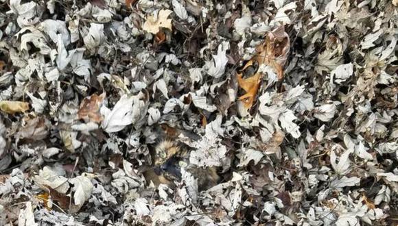 El color del pelaje del gato permite que este se 'camufle' perfectamente entre las hojas. (Foto: Avery Shrader)