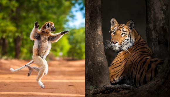 Una sifaka de Verreaux en la Reserva Berenty, Madagascar. Al lado: Tigre de Bengala en las profundidades del Parque Nacional Bandhavgarh, en India (Fotos: Shannon Wild y Thomas Vijayan / New Big 5)
